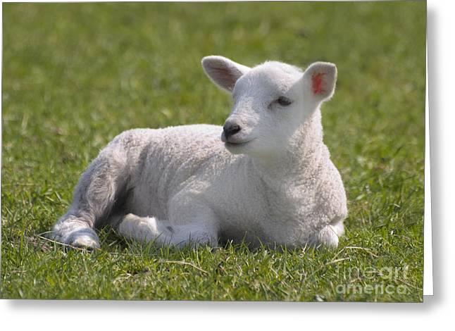 Ovine Greeting Cards - Spring Lamb Greeting Card by Steev Stamford