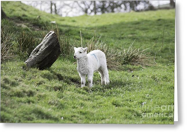 Ovine Greeting Cards - Spring Lamb Greeting Card by Steve Purnell