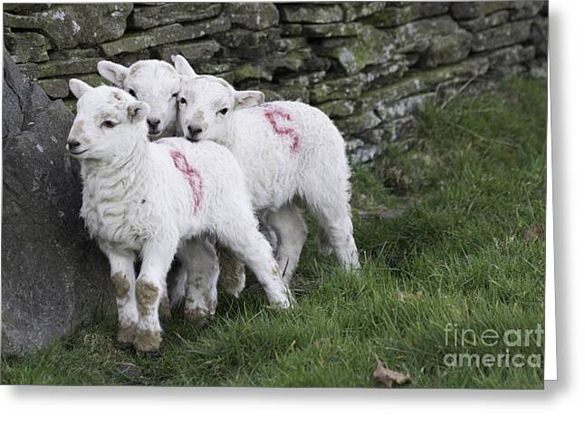 Ovine Greeting Cards - Spring Lambs 2 Greeting Card by Steve Purnell