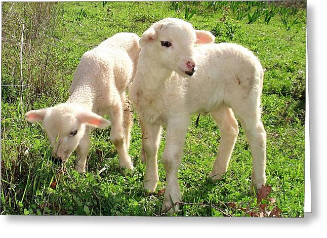 Naivety Greeting Cards - Spring Lambs Grazing On Farmland Greeting Card by Tracey Harrington-Simpson