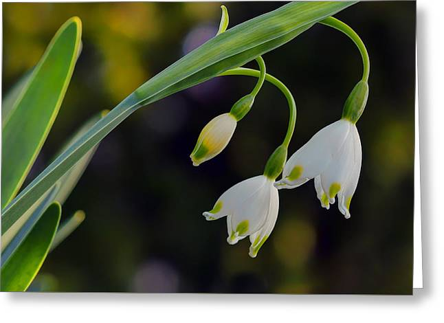 Spring Snowflake - Flower Greeting Card by Nikolyn McDonald