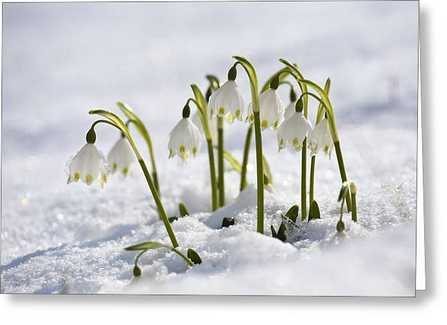 Medium Flowers Greeting Cards - Spring Snowflake Leucojum Vernum Greeting Card by Konrad Wothe