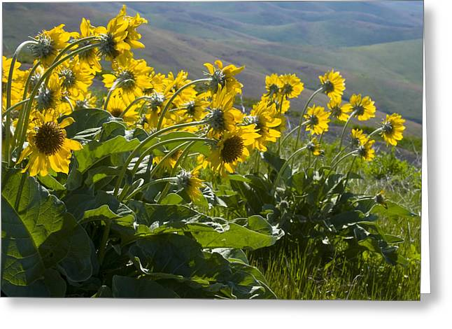 Lewiston Greeting Cards - Spring Sunflowers Greeting Card by Idaho Scenic Images Linda Lantzy