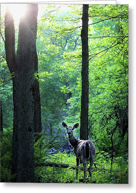 Spring Sunset On White-tailed Doe Greeting Card by Codee Hart