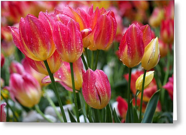 Pink Tulips Greeting Cards - Spring Tulips in the Rain Greeting Card by Rona Black