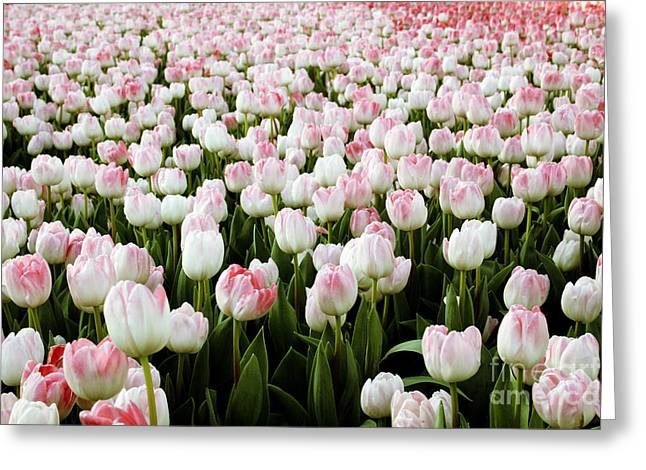 Growing Greeting Cards - Spring Tulips Greeting Card by Linda Woods