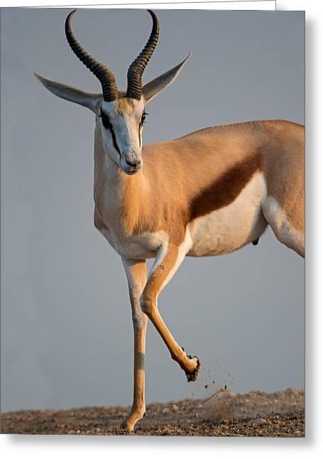 Animal Body Part Greeting Cards - Springbok Antidorcas Marsupialis Greeting Card by Panoramic Images