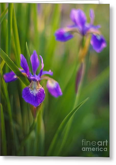 Pistils Greeting Cards - Springs Irises Beauty Greeting Card by Mike Reid