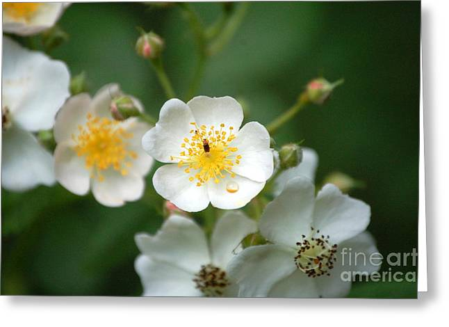 Berry Greeting Cards - Springs Kiss Greeting Card by Diane E Berry