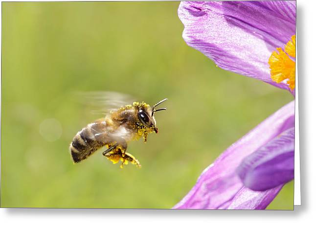 Springtime - Bee In Flight Greeting Card by Roeselien Raimond