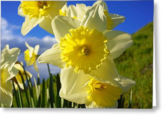 Popular Flower Art Greeting Cards - Springtime Bright Sunny Daffodils Art Prints Greeting Card by Baslee Troutman