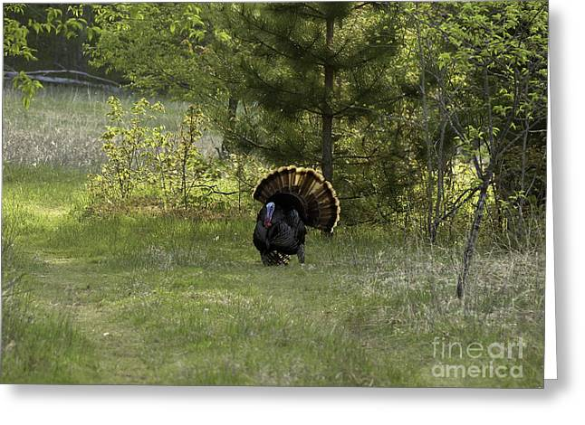 Meleagris Gallopavo Greeting Cards - Springtime Performance Greeting Card by TAPS Photography