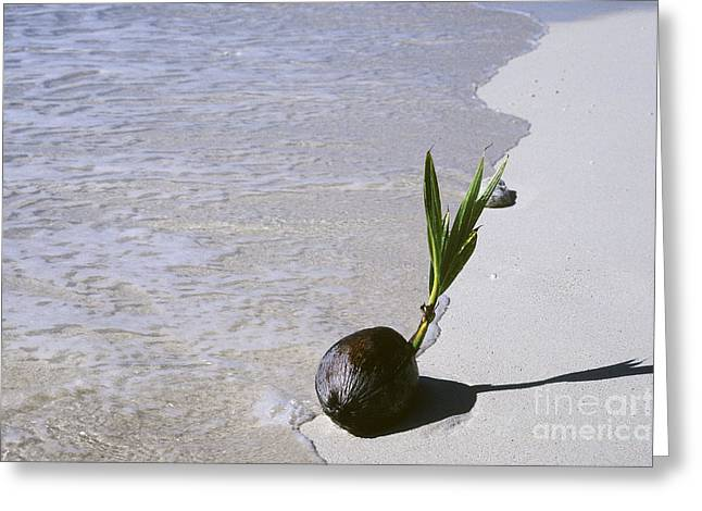 Germinate Greeting Cards - Sprouting Coconut Greeting Card by John Kaprielian