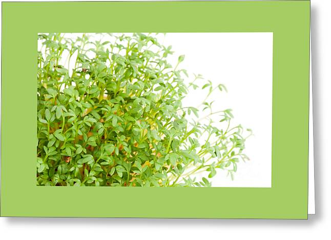 Sprouts Of Lepidium Sativum Or Cress Growing  Greeting Card by Arletta Cwalina