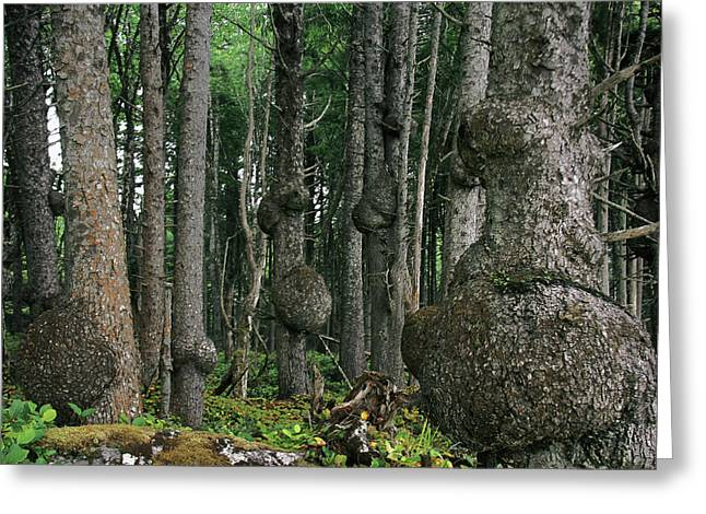 Distress Greeting Cards - Spruce Burls Olympic National Park WA Greeting Card by Christine Till