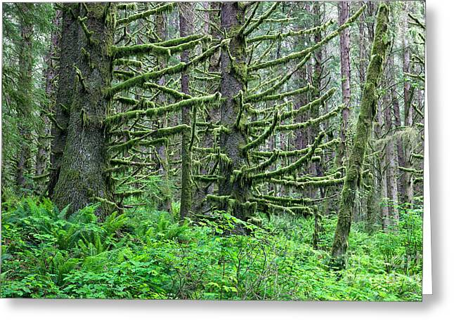 Moist Greeting Cards - Spruce Forest Greeting Card by Inga Spence