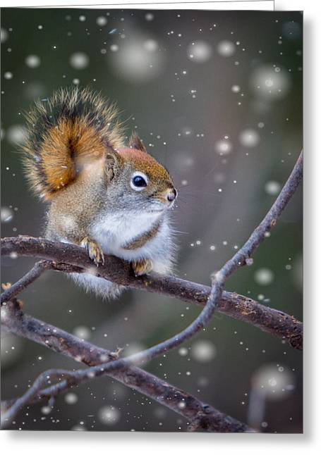 Gray Hair Greeting Cards - Squirrel Balancing Act Greeting Card by Patti Deters