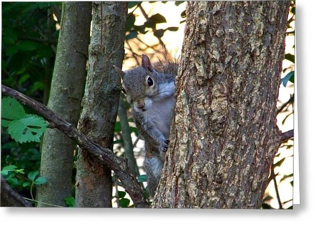 Tree Squirrel Greeting Cards - Squirrel II Greeting Card by Jai Johnson