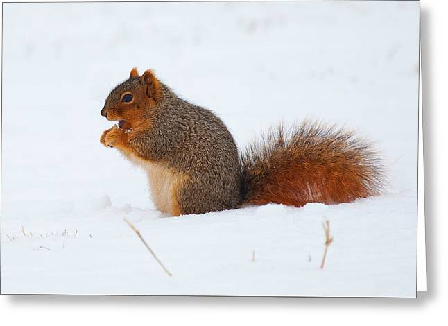 Fox Squirrel Greeting Cards - Squirrel in Snow Greeting Card by Stephen Schwiesow