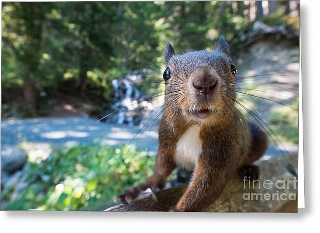 Swiss Photographs Greeting Cards - Squirrel up close Greeting Card by Peter Wey
