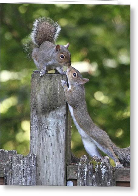 Gray Squirrel Greeting Cards - Squirrelly Affection Greeting Card by Angie Vogel
