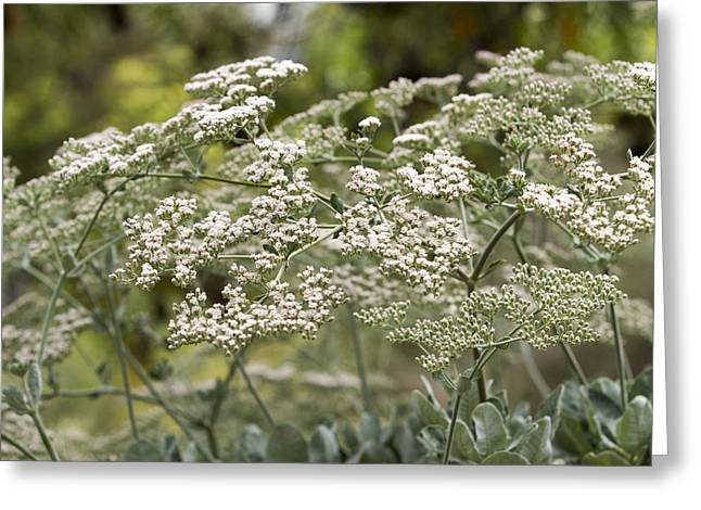 Catherine White Greeting Cards - St. Catherines Lace Flowers Greeting Card by Malisa Nicolau