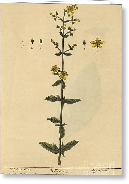 St Johns Wort, Medicinal Plant, 1737 Greeting Card by Science Source