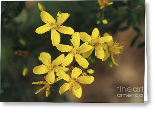 Antidepressant Greeting Cards - St. Johns Wort Plant Greeting Card by George Mattei
