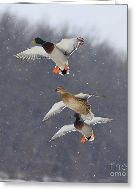 Wood Duck Greeting Cards - Stacked Greeting Card by Robert Pearson