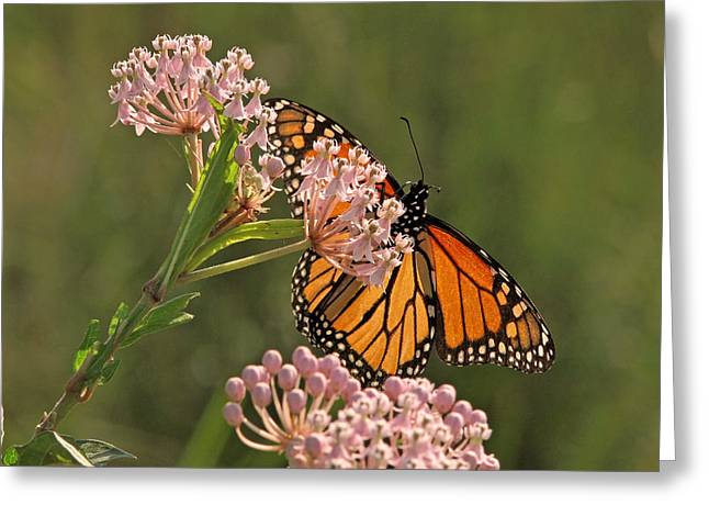 Swamp Milkweed Greeting Cards - Stained Glass by Nature Greeting Card by Peg Urban