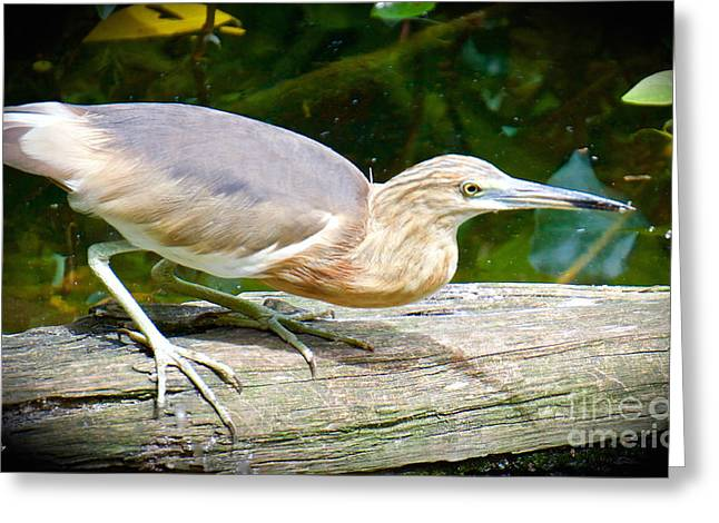 Wild Birds Greeting Cards - Stalker Series Greeting Card by Judy Kay