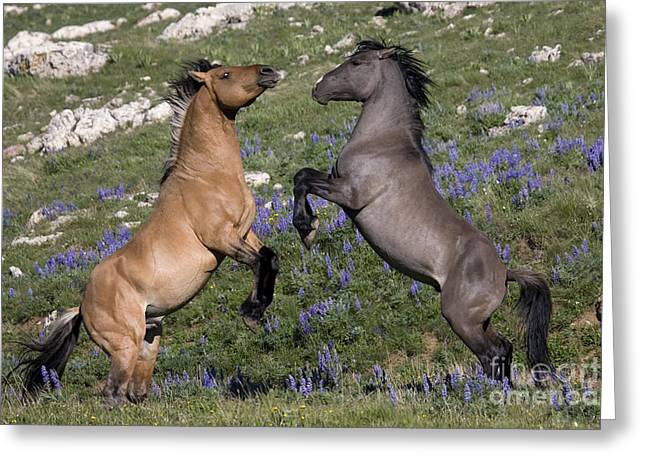 Hierarchy Greeting Cards - Stallion Battle Greeting Card by Jean-Louis Klein & Marie-Luce Hubert