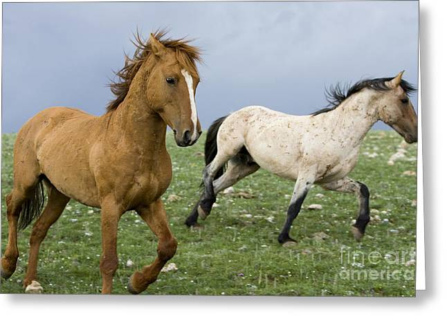 Male Dominated Greeting Cards - Stallion Dominance Behavior Greeting Card by Jean-Louis Klein & Marie-Luce Hubert