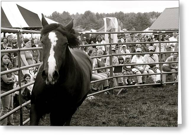 Maine Agriculture Greeting Cards - Stallion Greeting Card by John Meader