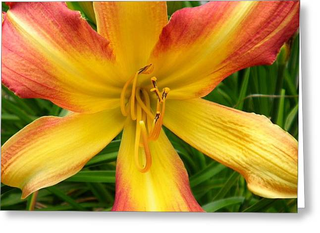 Best Sellers -  - Day Lilly Greeting Cards - Stamen Dance Greeting Card by Donna Meadows