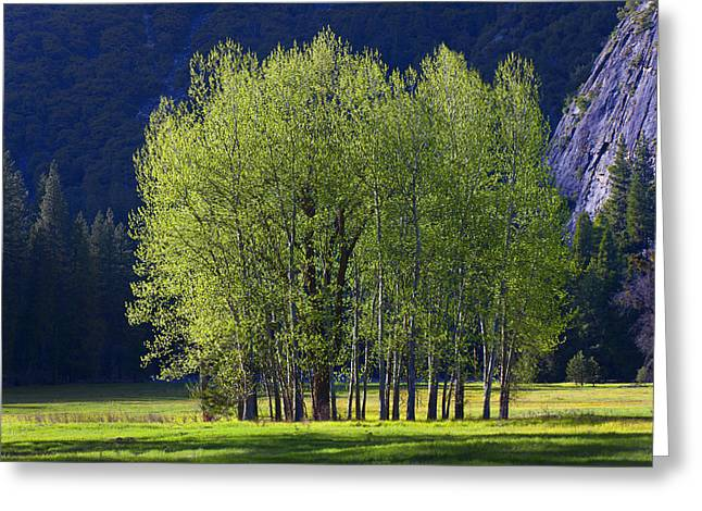 Stand Of Trees Yosemite Valley Greeting Card by Garry Gay