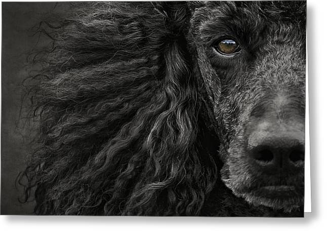 Working Dog Greeting Cards - Standard Poodle Portrait Greeting Card by Wolf Shadow  Photography