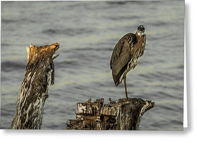 Beach Photography Greeting Cards - Standing Great Blue Heron Greeting Card by Ron Pate