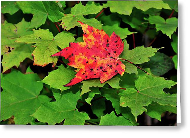 Leaves Photographs Greeting Cards - Standing Out Greeting Card by Betty LaRue