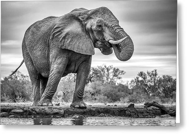 Standing Proud Greeting Card by Jaco Marx