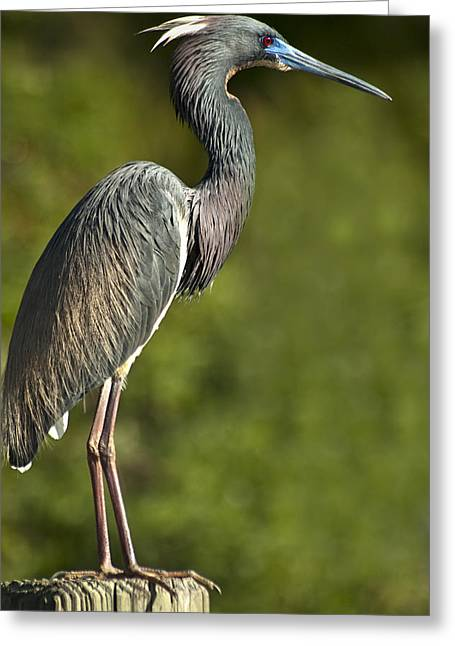 Egretta Tricolor Greeting Cards - Standing Tall Greeting Card by Carolyn Marshall