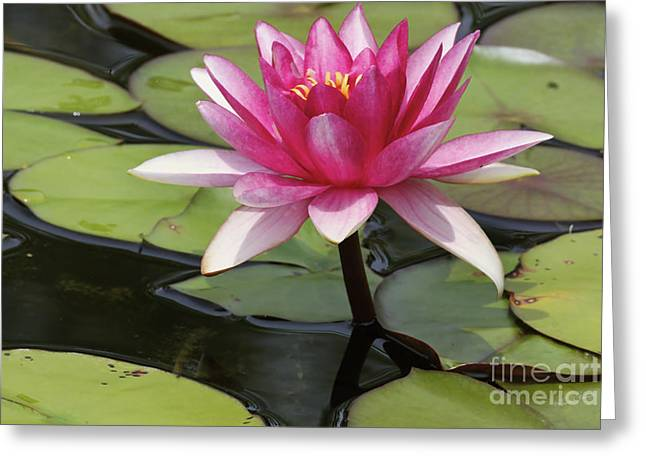 Waterlillies Greeting Cards - Standing Tall In The Pond Greeting Card by Deborah Benoit