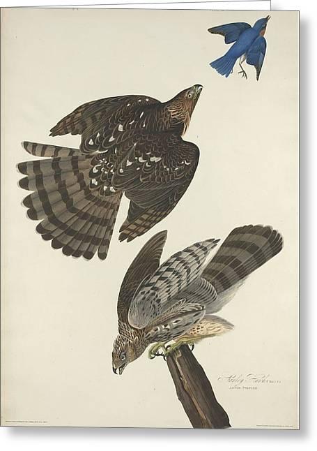 Stanley Hawk Greeting Card by John James Audubon