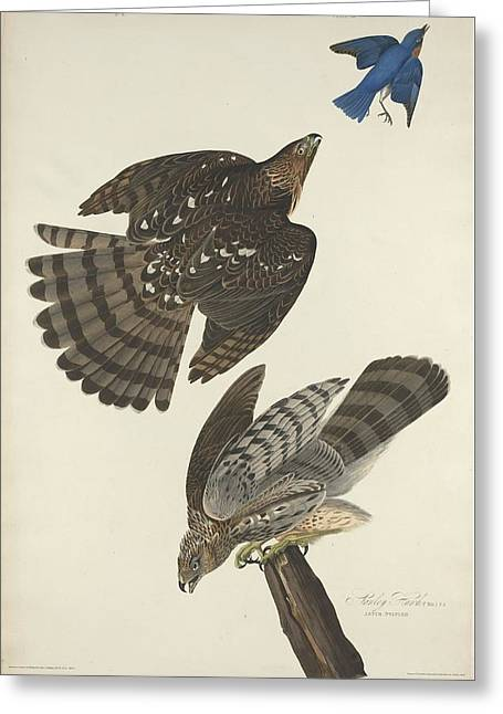 Flying Bird Drawings Greeting Cards - Stanley Hawk Greeting Card by John James Audubon