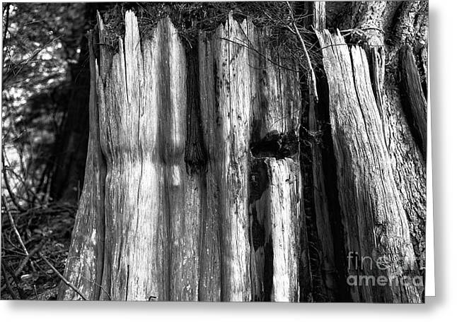 Stanley Park Greeting Cards - Stanley Park Old Timer mono Greeting Card by John Rizzuto