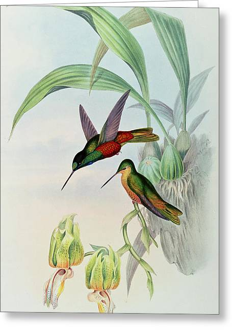 Humming Bird Greeting Cards - Star Fronted Hummingbird Greeting Card by John Gould