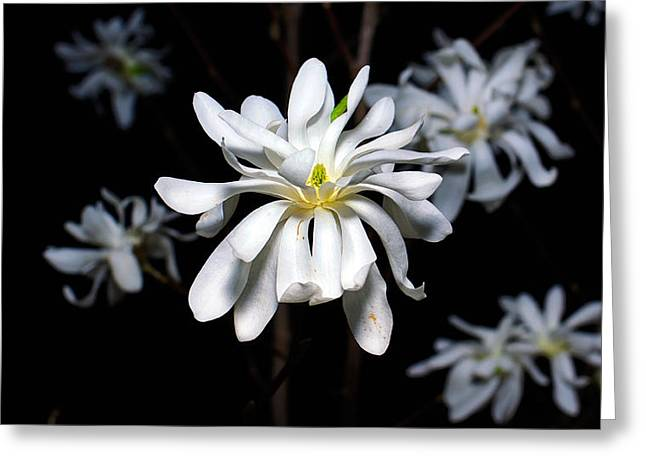 Twiggy Greeting Cards - Star Magnolia Greeting Card by Eduard Gorobets
