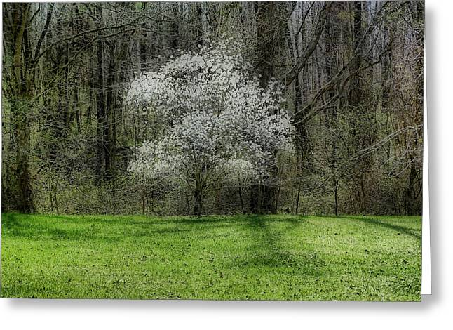 Star Magnolia Tree Greeting Card by Sandy Keeton