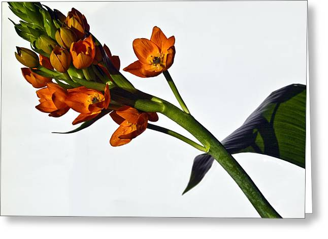 Star Of Bethlehem Greeting Cards - Ornithogallum Dubium Greeting Card by Roland Bouvier