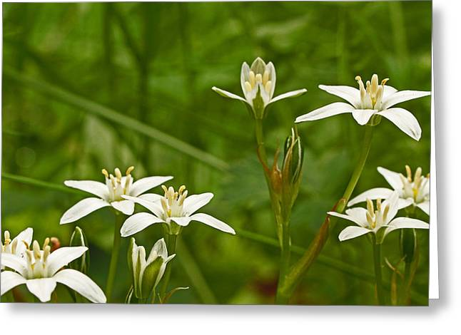 Star Of Bethlehem Greeting Cards - Star Of Bethlehem Wildflower - Grass Lily - Ornithogalum umbellatum Greeting Card by Mother Nature
